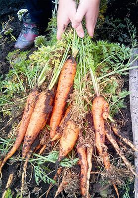 Использование Агротекса при выращивании моркови