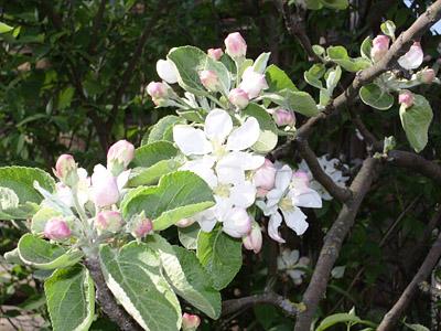 ладога яблоня описание фото