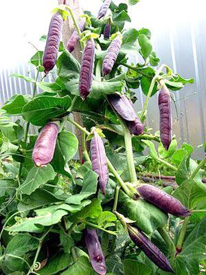 горох сорта Фиолетовый сахар