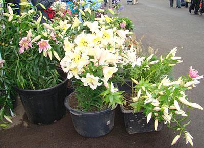 Лилии на выставке