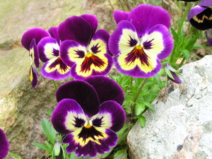 ����� ����� Purple Pansies