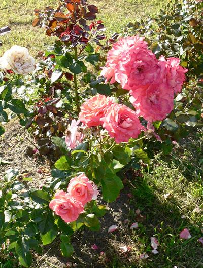 Розы клумбовые