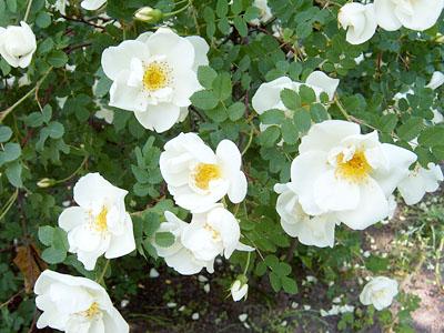 Роза парковая