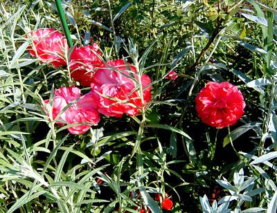 Розы полуплетистые, полынь, анафалис