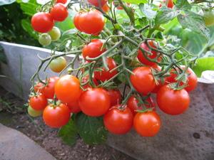 Комнатные томаты. Сорт Жемчужина красная