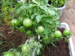 Комнатные томаты в цветочном ящике