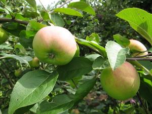 Хороши яблоки