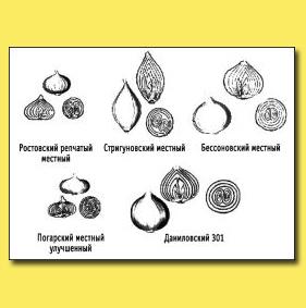 Рис. 6. Сорта репчатого лука, предназначенные для двулетней культуры (через севок)