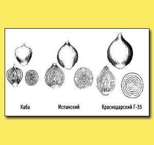 Рис. 7. Сорта репчатого лука, предназначенные для однолетней культуры