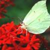 Лихнис горицвет и бабочка лимонница