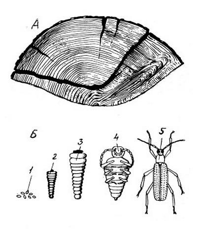 Вид глубокой древоточины, вызванной древоточцем, и фазы его развития