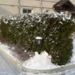 зеленая изгородь зимой