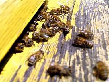 пчелы