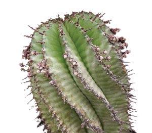 Молочай многогранный, Euphorbia polygona