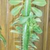 Euphorbia trigona, молочай треугольный