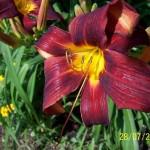 Лилейник тёмно-бордовый с жёлтой серединой