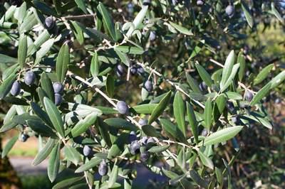 ветви с оливкам