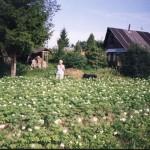 Картофельное поле всегда радовало урожаем, пока не заболело