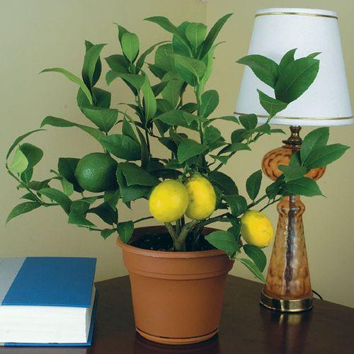 Цветок лимон домашний