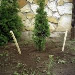 Подвязывание растения