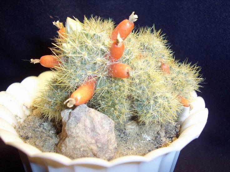 виды домашних кактусов с