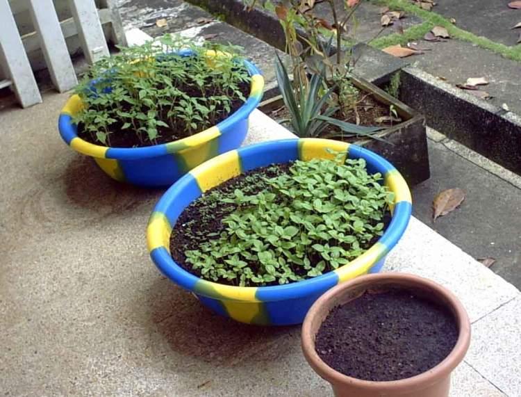 Как сажать ромашки семенами 35