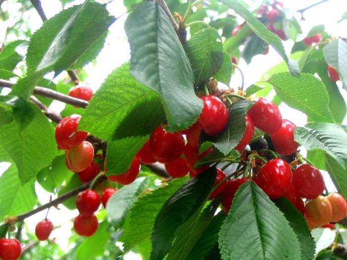 Как называется скрещенная вишня с черемухой