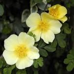 Роза кантина