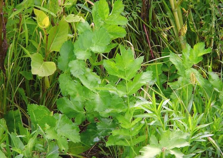 фото пастернак растения
