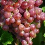 Виноград. Сорт Новый Русский