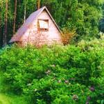 зеленая изгородь из шиповника