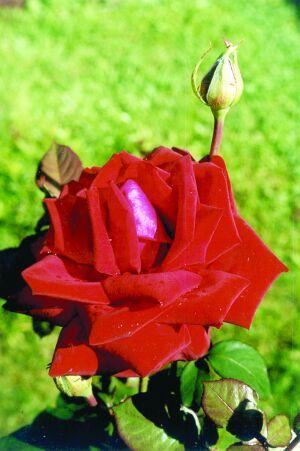чайная роза Бургунд