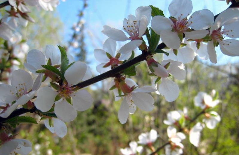 Цветы вишни войлочной
