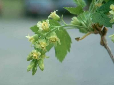 Цветёт смородина