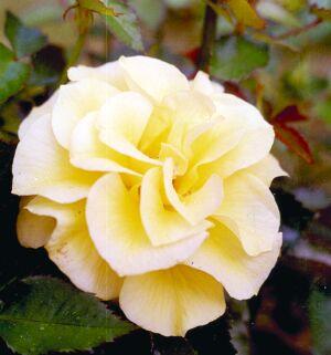 роза флорибунда сорт Фризия
