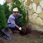 посадка вечнозеленых растений