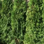 туя в зеленой изгороди