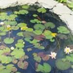 растения в искусственном водоеме
