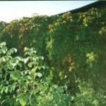 гибриды малины и ежевики