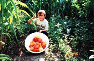 Урожай крупноплодных сортов томатов