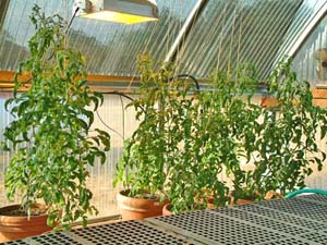Как вырастить помидоры на подоконнике или на лоджии - florap.
