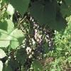 Псковский виноград