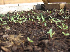 выращивание редьки