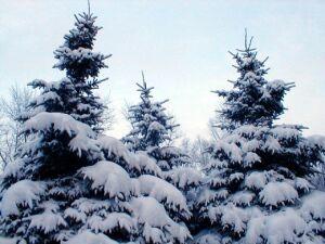 елочки под снегом