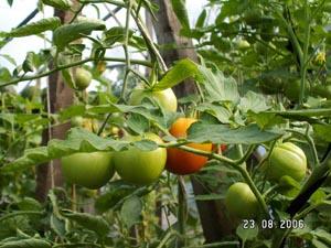 томаты на ветке