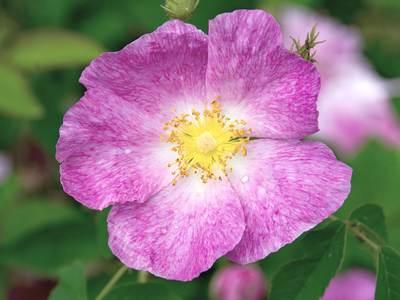 Дикая роза французская