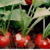 Урожай редиса