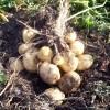 выращивание кртофеля