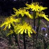 скорцонера цветет
