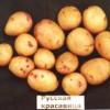 сорт картофеля Русская Красавица